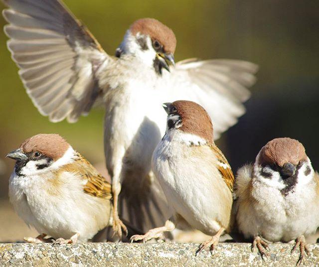 「ぼくがパンを受け止めるから食べな!」 #雀#スズメ#すずめ#sparrow