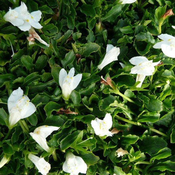 Image Result For Ground Cover With White Flowers That