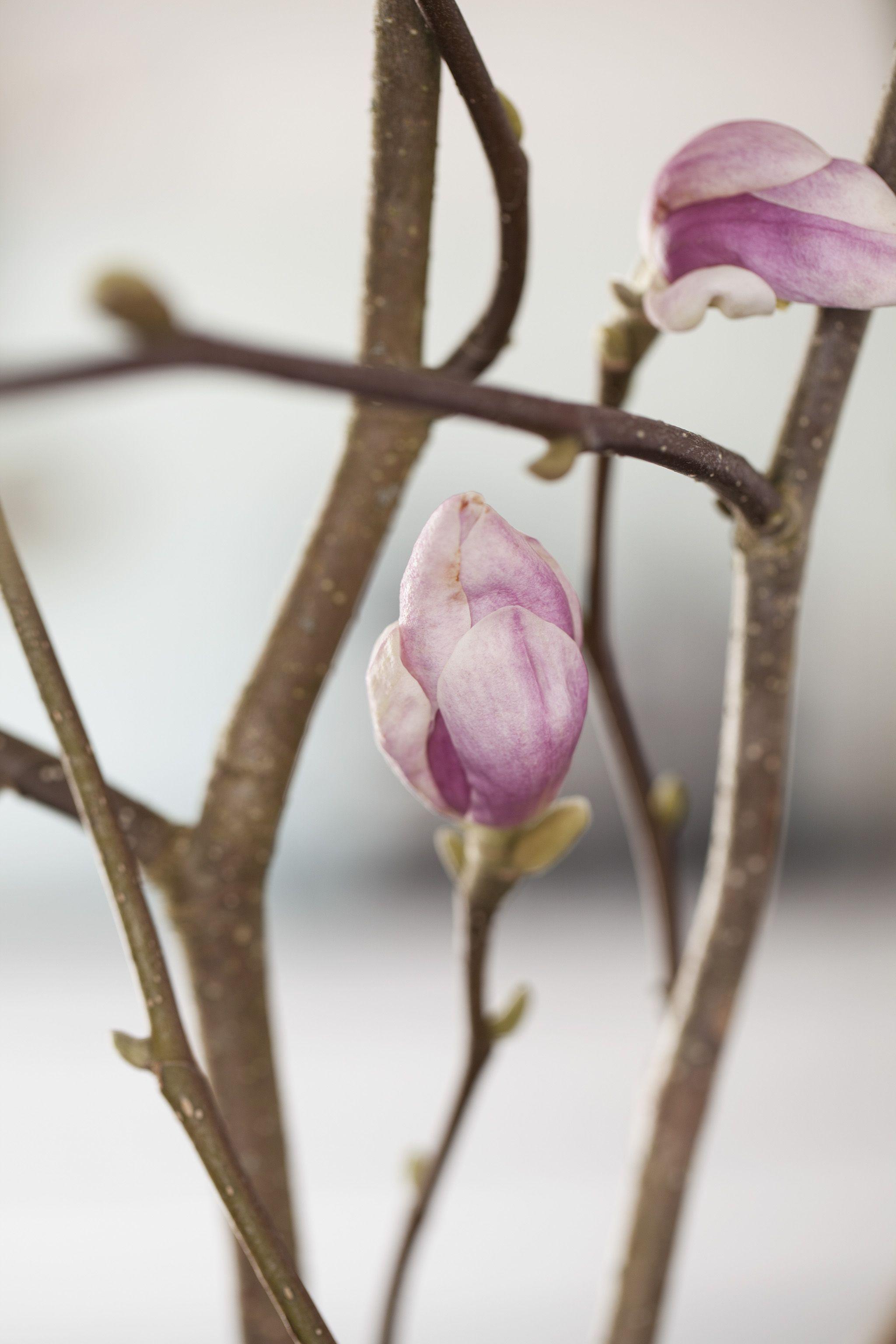 Magnolia greiner
