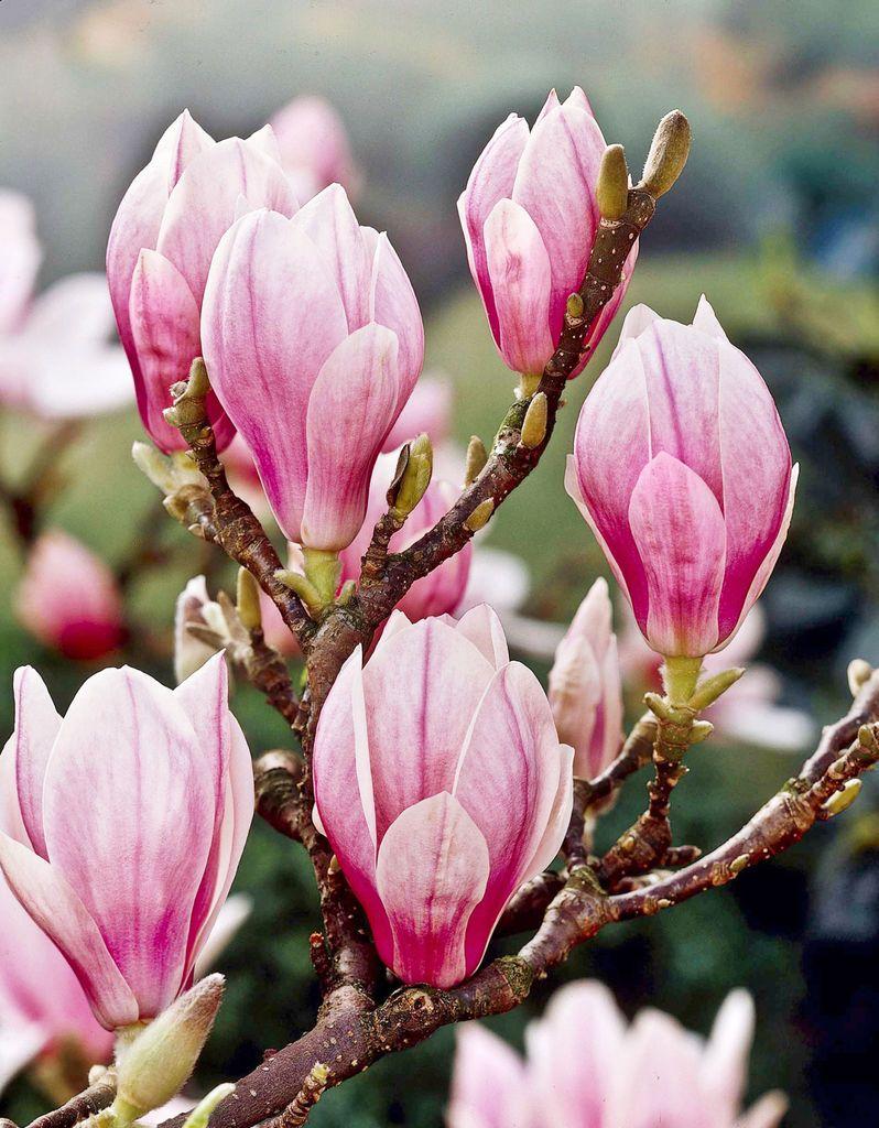 Praktmagnolia - Magnolia x soulangeana
