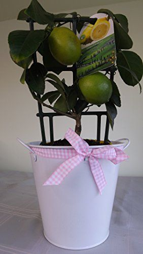Beautiful Pink Checked Ribbon Bucket With Lemon Tree Lemon Tree Fruits Gift Basket Ideas Lemon Modern Home Decor Fruit Gifts Patio Frui Small Fruit Trees Fruit Decorations Fruit Gifts