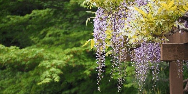 Wisteria, North Kanto, Japan