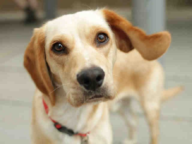 Todd The Lemon Beagle Is Now Up For Adoption Ask About Animal