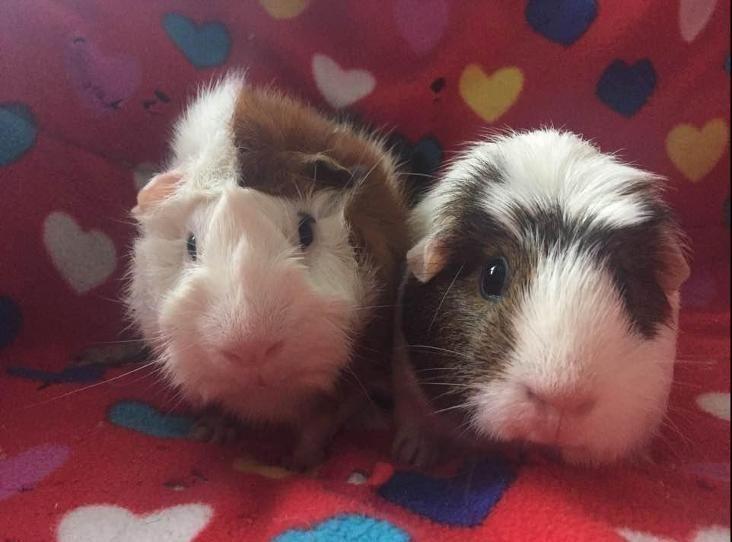Flash und Fifi sind ein freundliches Paar von Meerschweinchen die wir in