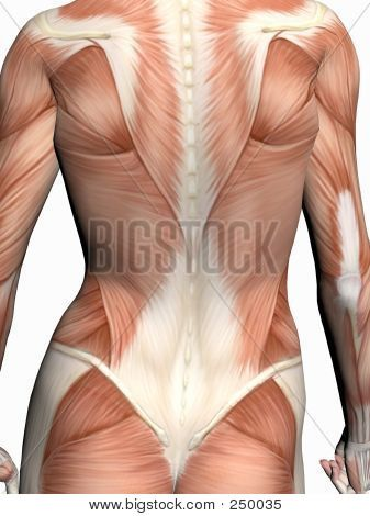 Anatomy Of The Muscular System Powerpoint Slideshow Anatomy For