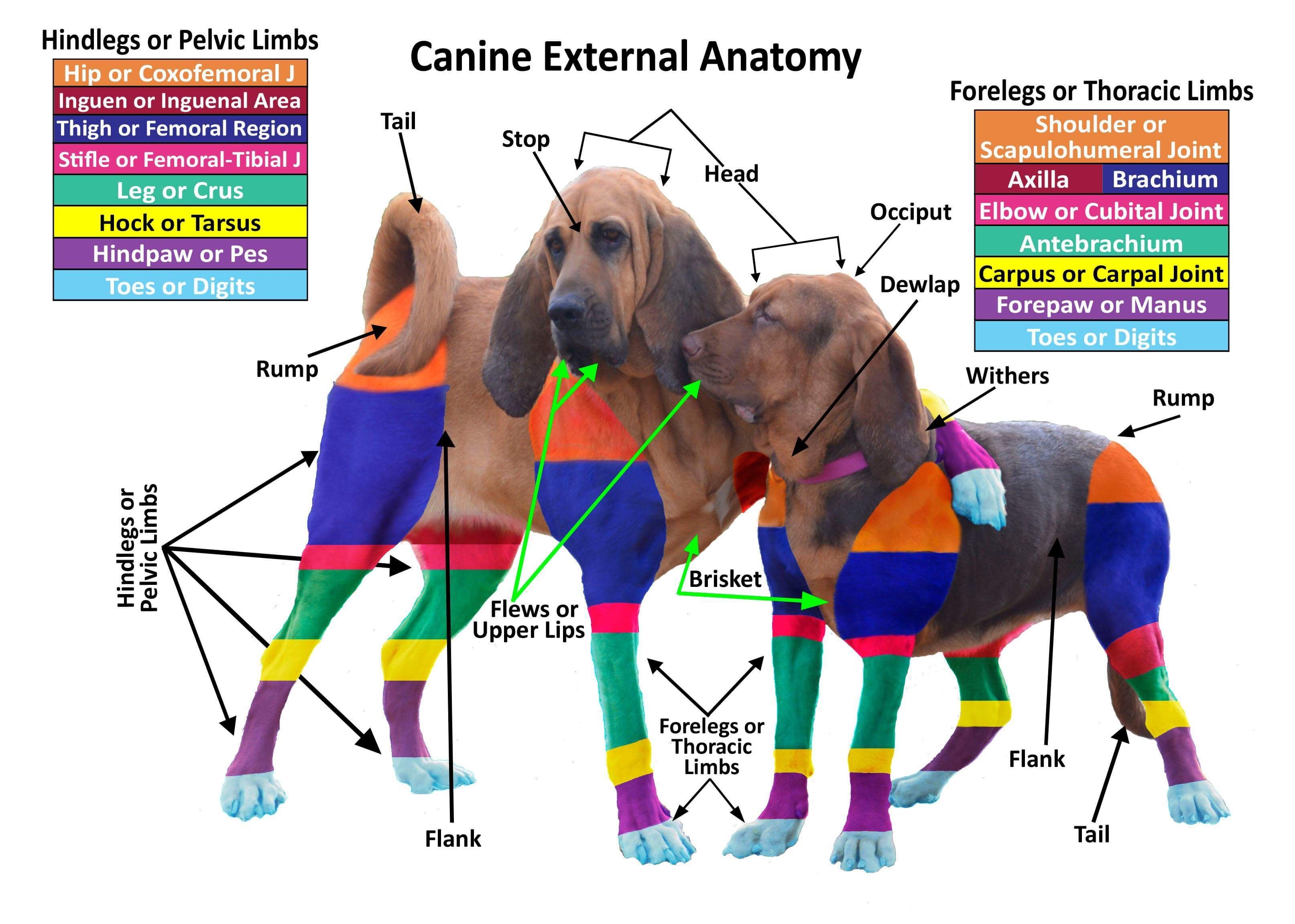 Canine External Anatomy Anatomy and Physiology Veterinary Medical ...