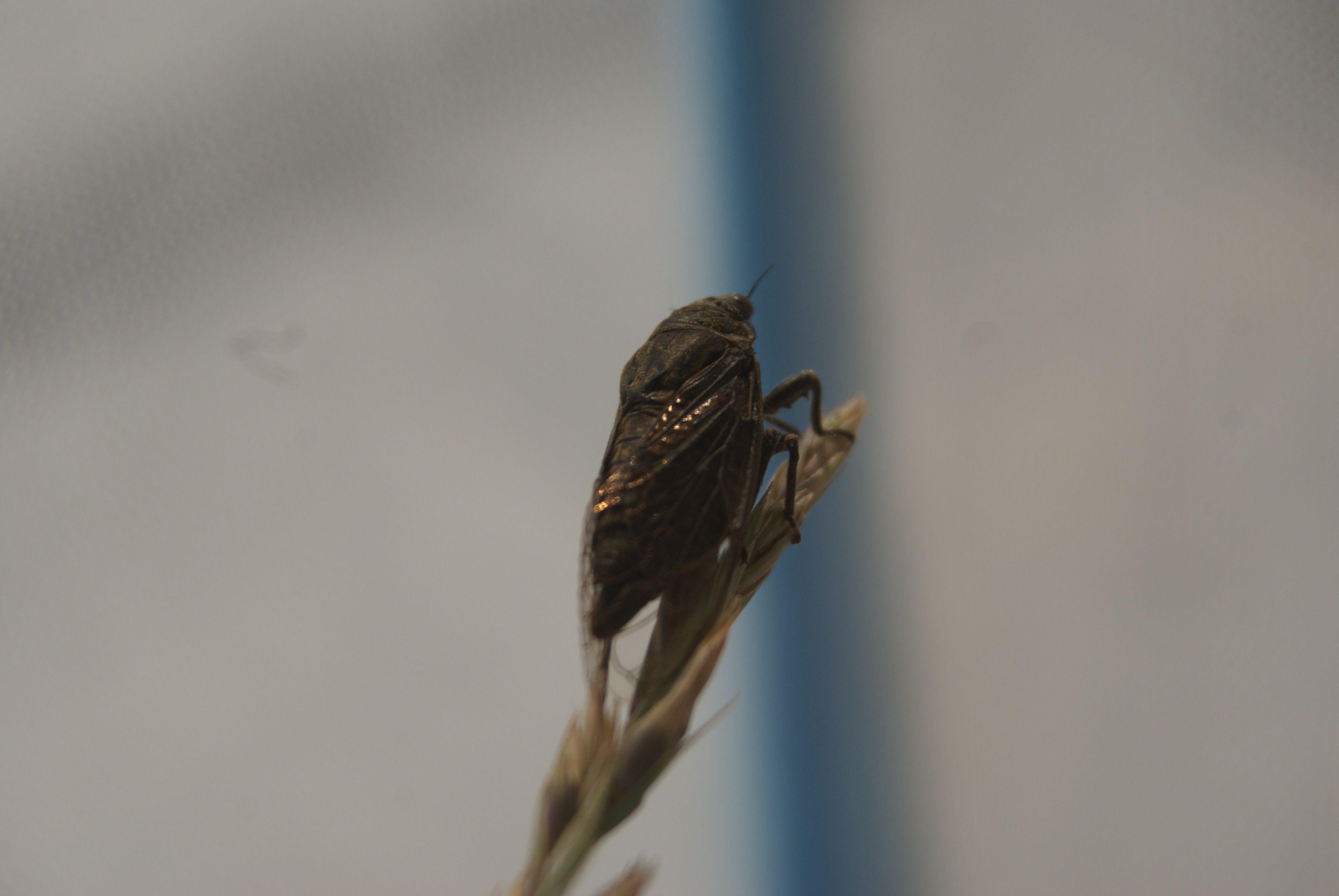 Tibicinoides cupreosparsus: day2
