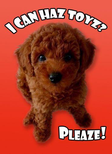 Toysforpoodles Com Red Poodles Red Poodle Puppy Poodle