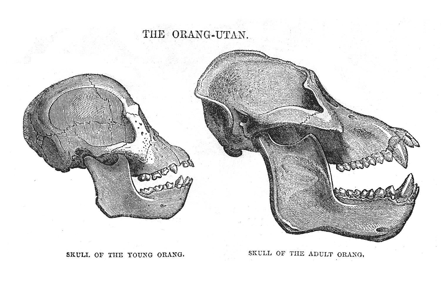 hight resolution of the skeleton of an orangutan primates mammals animal skulls animal anatomy