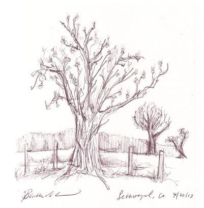 Daily Drawing, April 20, 2013. Apple orchard in Sebastopol, CA. By Barbara Alonso.   http://www.b-drawn.com/imported-20120609173540/2013/4/21/april-16-and-20-daily-drawings.html