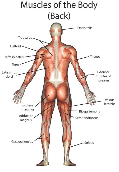 Back Body Parts Names Body Pinterest Bodies Muscle Anatomy