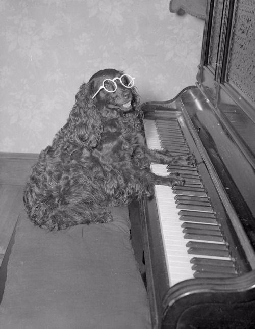 yesterdaysprint:  Dog plays the piano, Boston, 1934