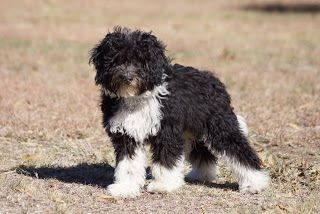 A Bordoodle Is A Cross Of A Border Collie And Poodle The Poodle