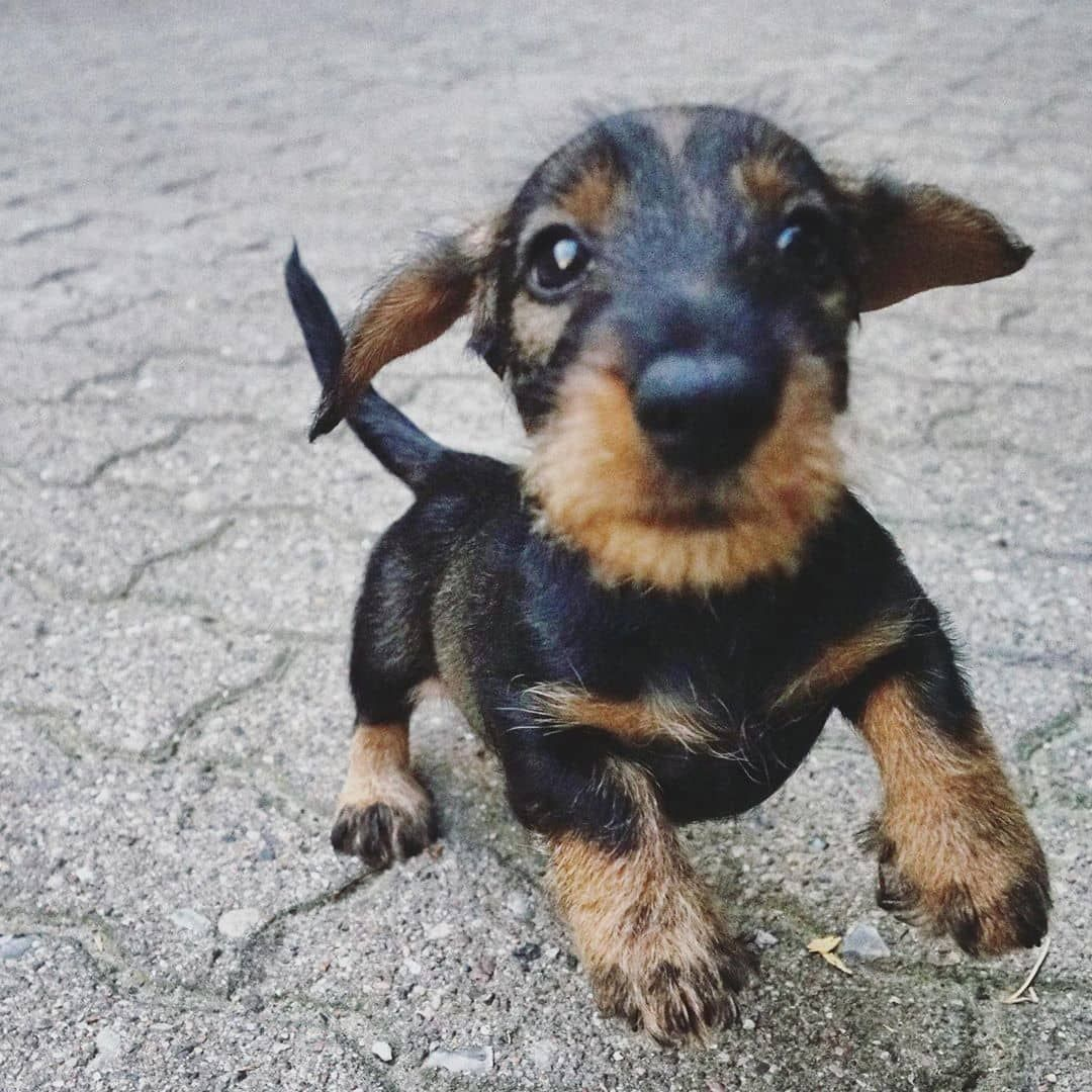 Buddy miniature dachshund puppies now available for sale