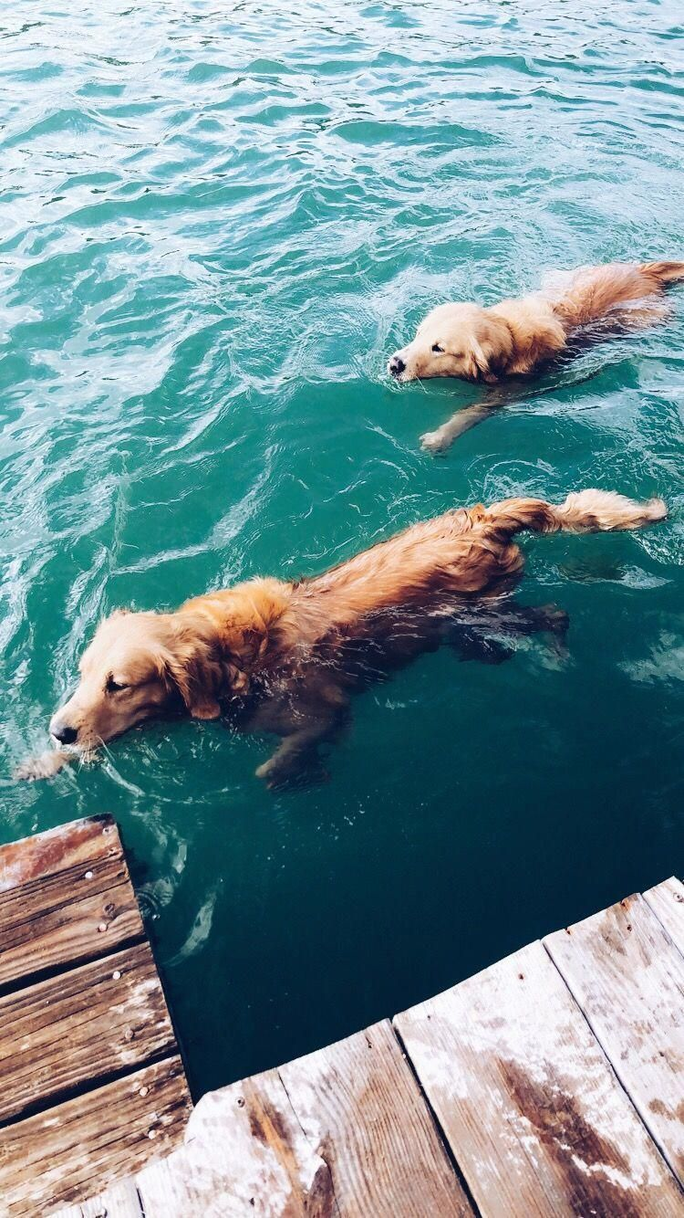 Find Out More On The Intelligent Golden Retriever Puppies Size