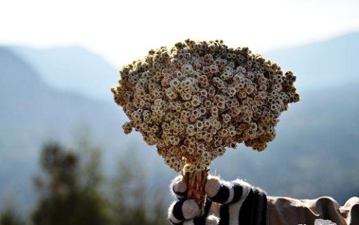 Gambar Bunga Edelweis Yang Dipetik Gambar Alam Dan Fakta