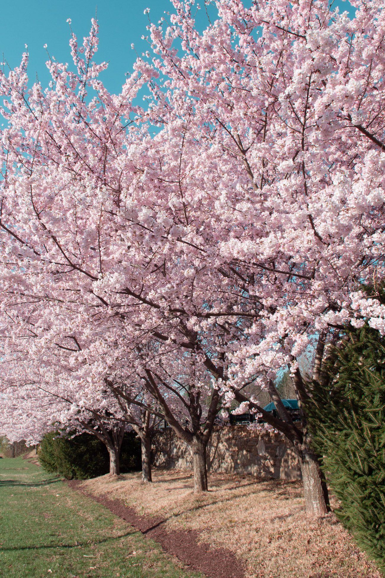 Every Single Flower Field In Washington Dc Maryland And Virginia Washington Dc Travel Washington Dc Spring Photos