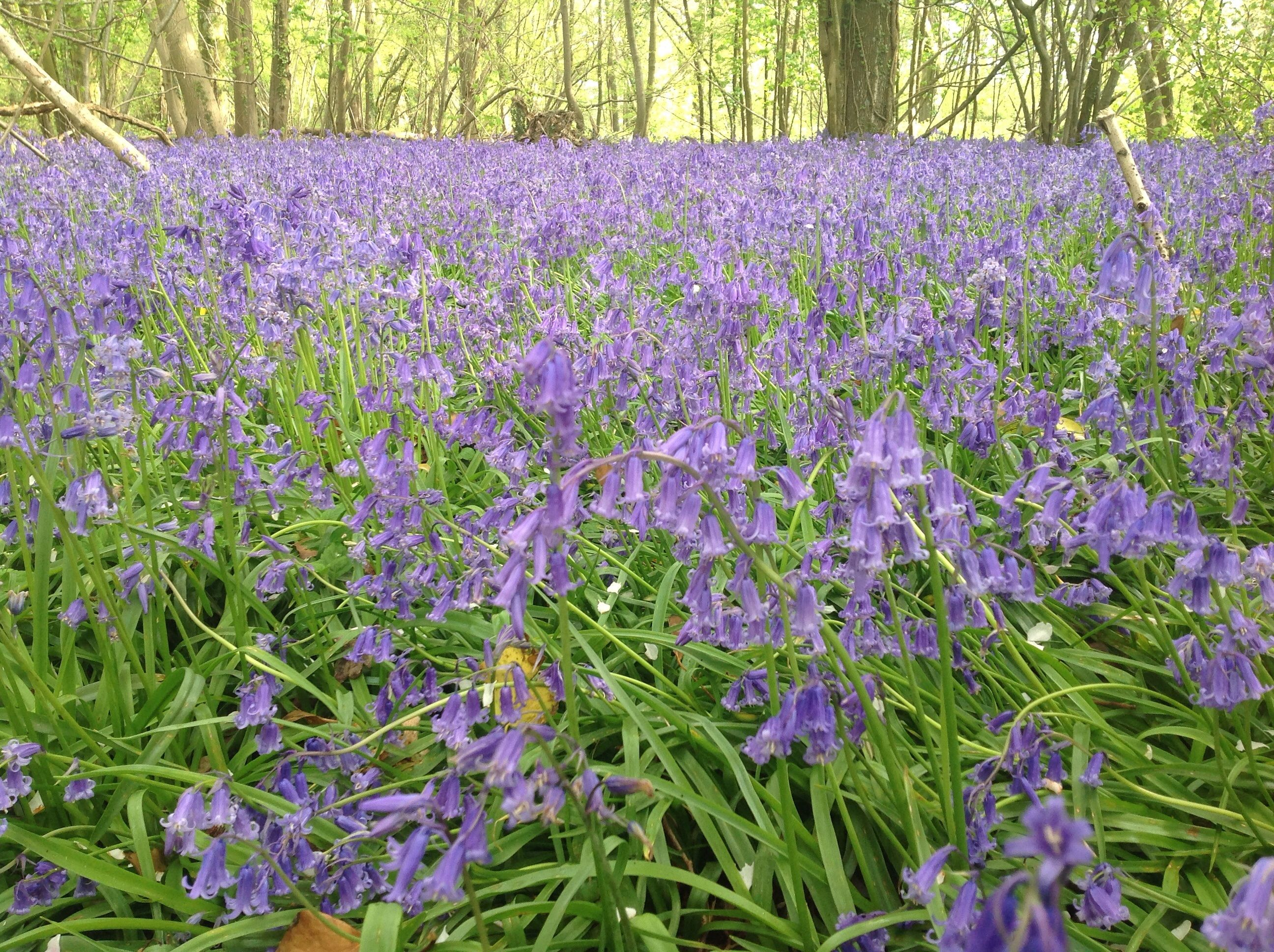 Bluebell woods stansted park pinterest stansted fc bluebell woods kristyandbryce Choice Image