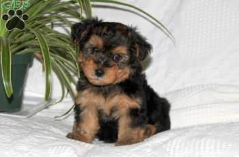 Rascal Yorkie Poo Puppy For Sale From Christiana Pa Greenfield Puppies Yorkie Poo Yorkie Poo Puppies Puppies For Sale