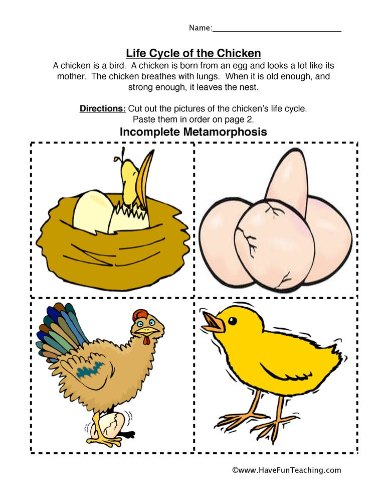 chicken life cycle worksheet diy and crafts life