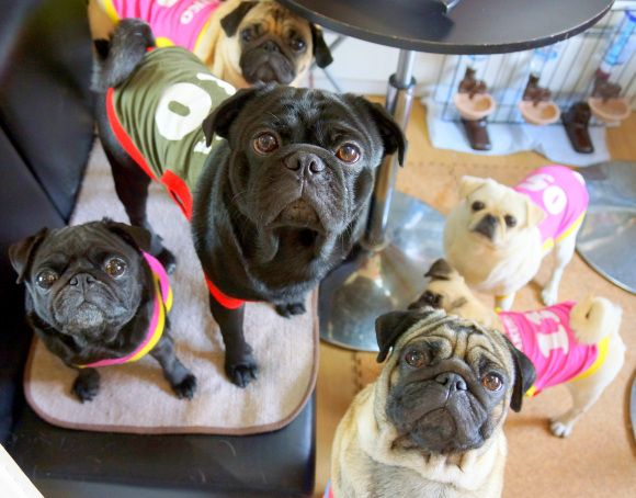 Kyoto S Living Room Pug Cafe Lets All The Dogs Out Photos Cat