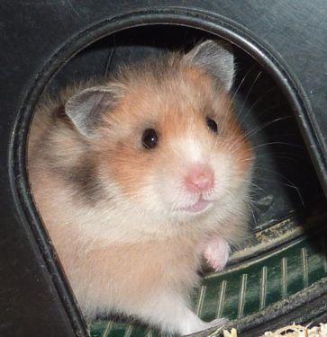 Aus Meiner Hamster Hobbyzucht Happy Hamster Die Hamsterzucht Im