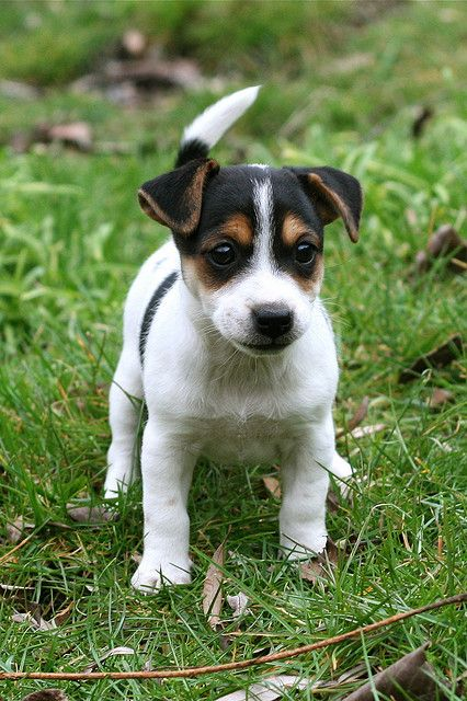 Misty Jack Russell Puppy Jack Russell Terrier Puppies Jack Russell Puppies Terrier Puppies