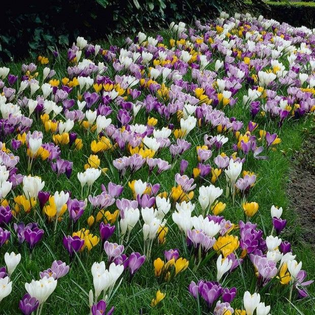 Thinking Spring The First Of The Small Flowering Bulbs Spring Flowering Bulbs Crocus Bulbs Spring Bulbs