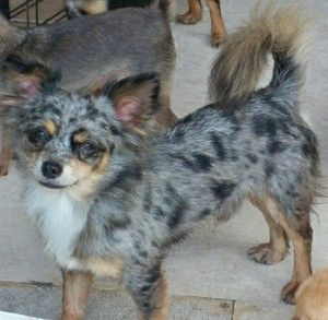 Blue Merle Chihuahua Puppies For Sale Chihuahua Puppies Merle