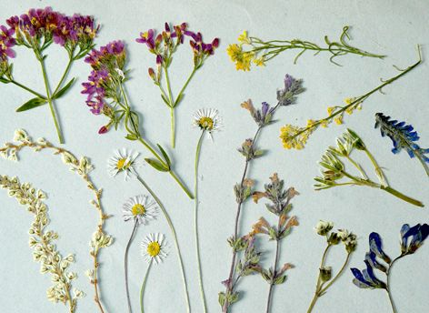 Fanales - flores secas
