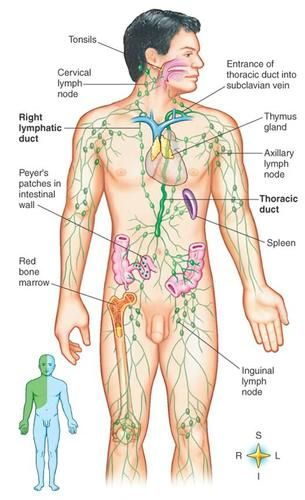 Lymphatic system diagram | Medical | Pinterest | Lymphatic system ...