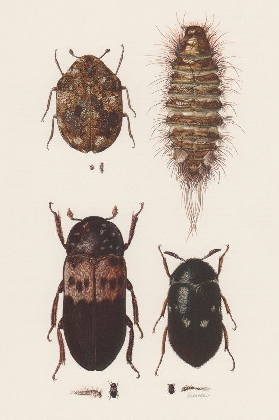 1957 Skin Beetle Print Insects Illustration Vintage Lithograph
