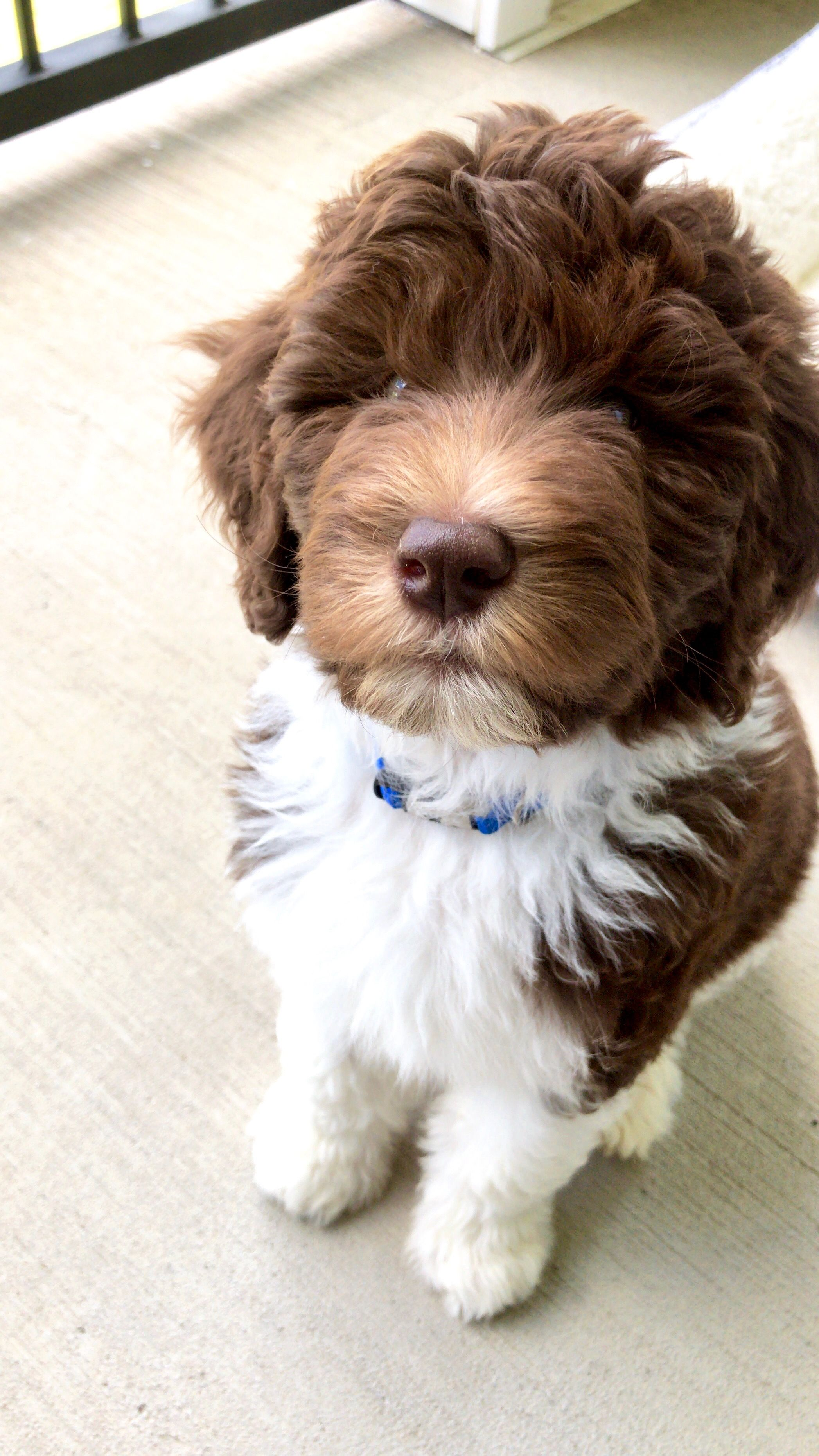 Newfypoo F1B pup. Cute dogs, Puppies, Dogs