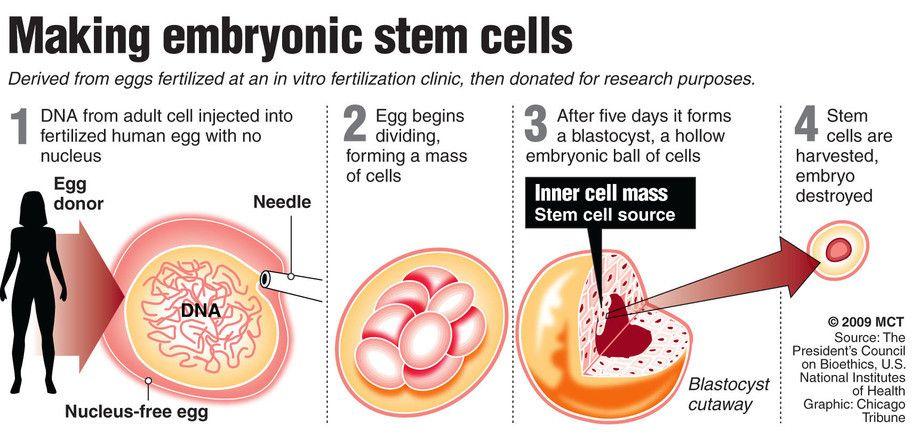 Embryonic Stem Cells Stem Cells Pinterest