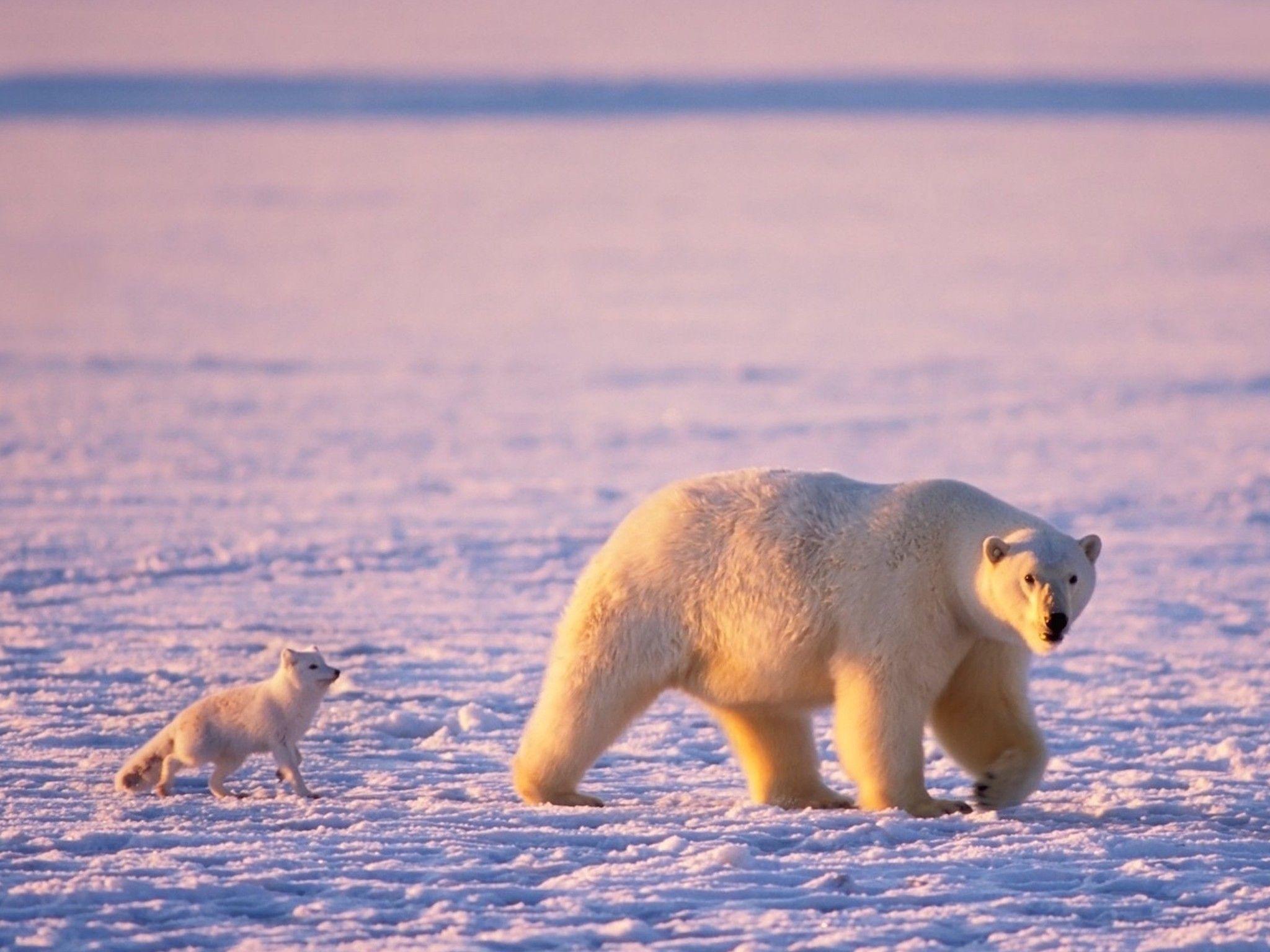 Arctic Friends Wallpaper Polar Bear Wallpaper Polar Bear Polar Bear Facts