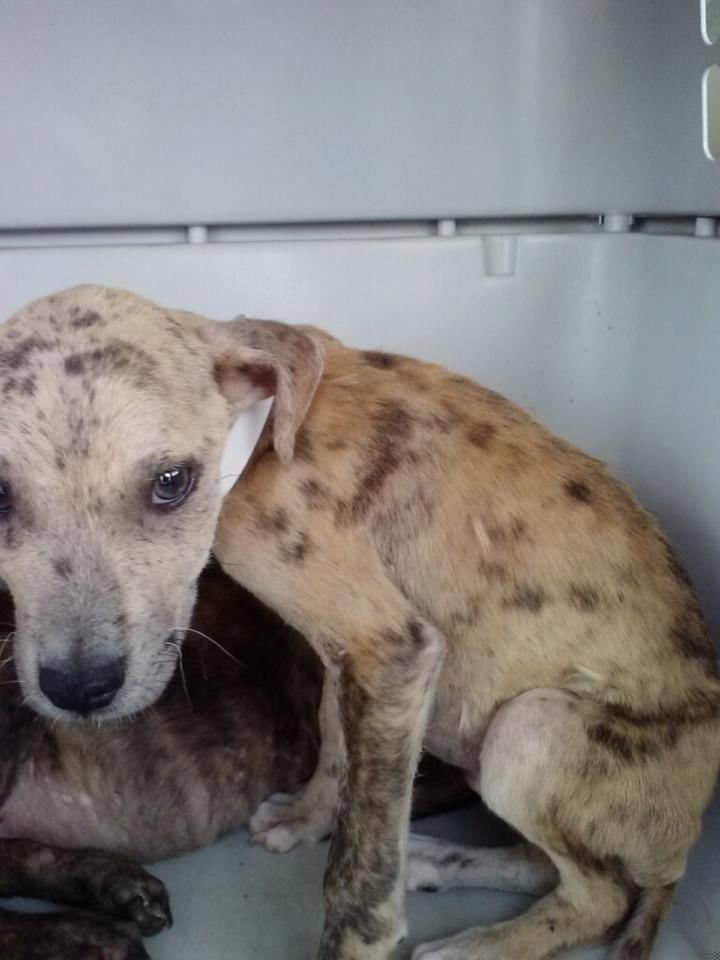 Catahoula baby in high kill shelter located at odessa