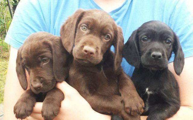 Cockador Puppies (Cocker x Lab). for sale