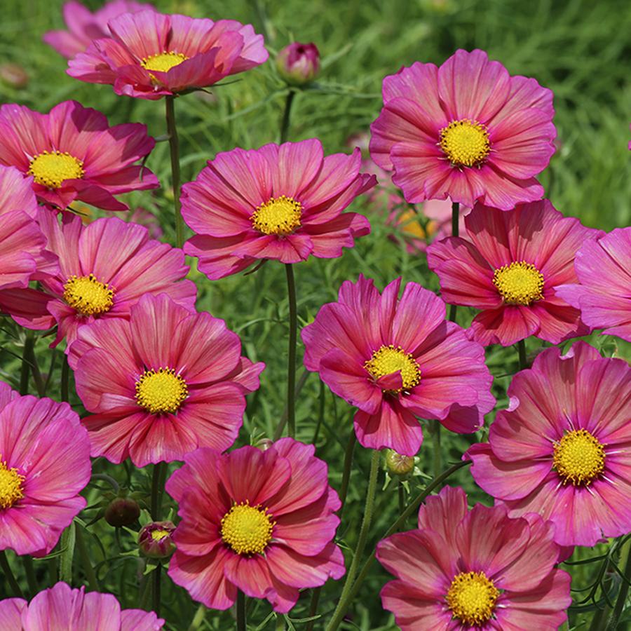 Cosmos Xsenia In 2020 Cosmos Flowers Cosmos Plant Sutton Seeds