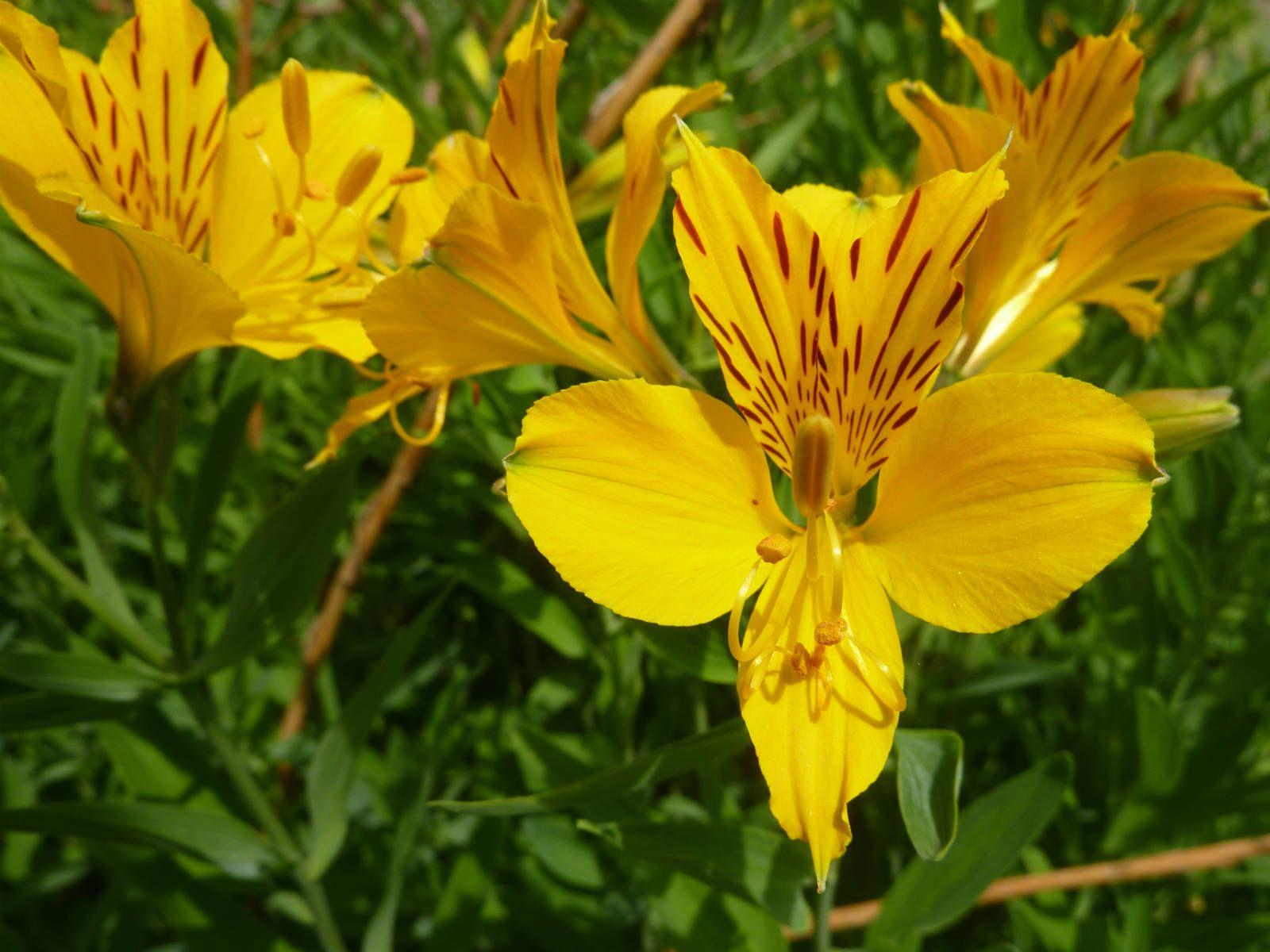 Alstroemeria Aurea Golden Lily Of The Incas Beautiful Flowers