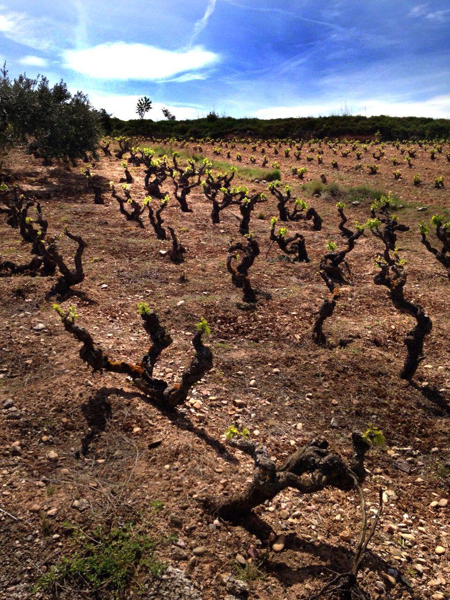 Nuestras #viñas sienten la primavera!! #rioja #vino #wine #bodegasmurilloviteri