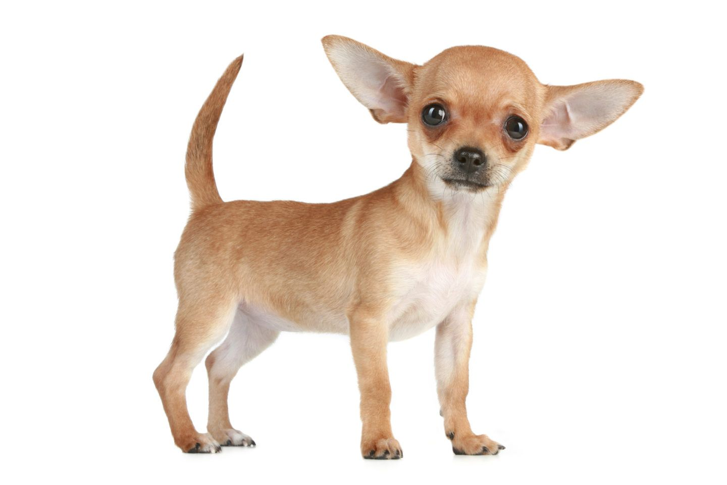 All The Better Hear You With Chihuahua Ear Health Chihuahua