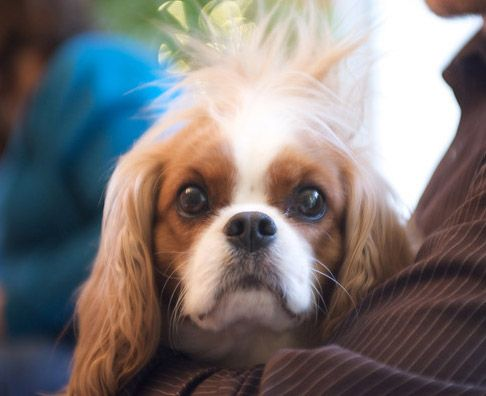 Mohawk Cavalier Cavalier King Charles Dog Cavalier Puppy King Charles Dog