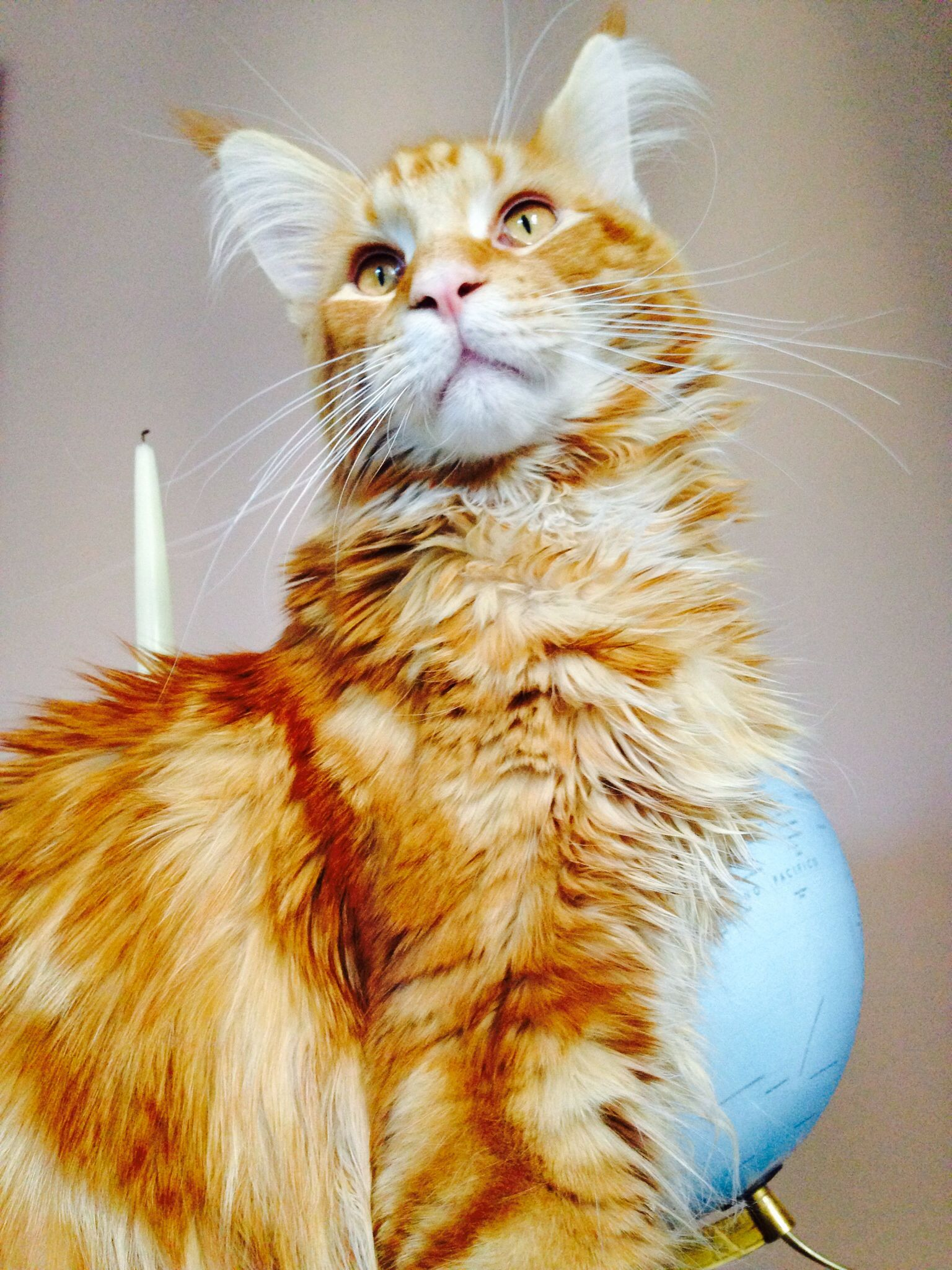 Pin on Maine Coons & Cousins