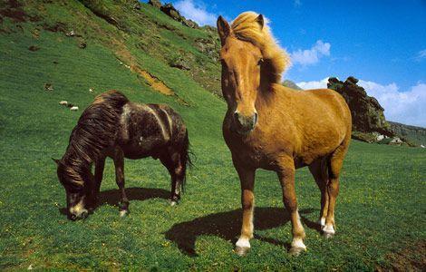 miniature-horses-grazing