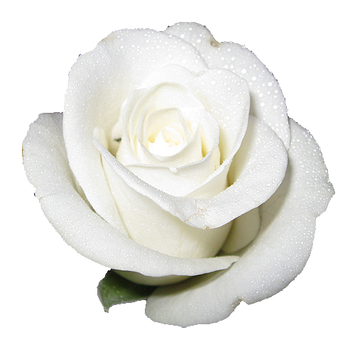 Rose transparent png, isolated flower roses various