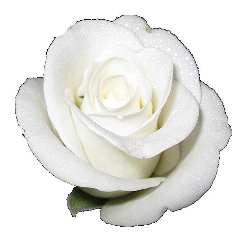 Jggjgjjgjg White Flower Png Rose Clipart White Rose Png