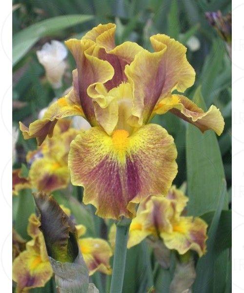 ~Bearded Iris 'Hot Topic'