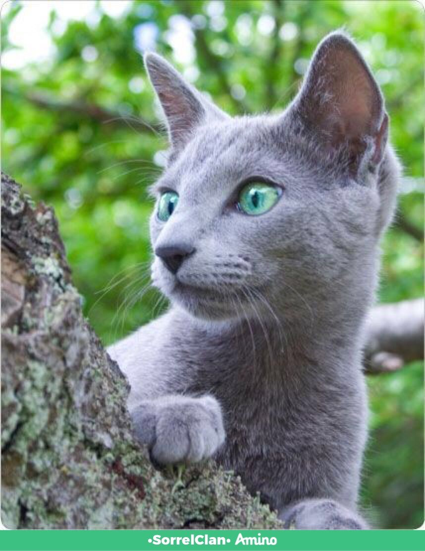 Pin By New Leaf Landscape Consulting On Kittehs Cats And Kittens Russian Blue Cat Russian Blue