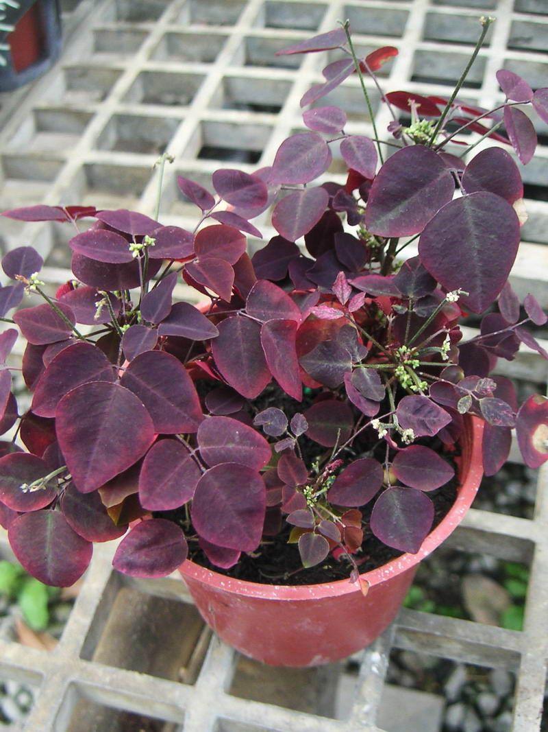 how to grow houseplants firefern oxalis hedysariodes rubra - Flowering House Plants Purple