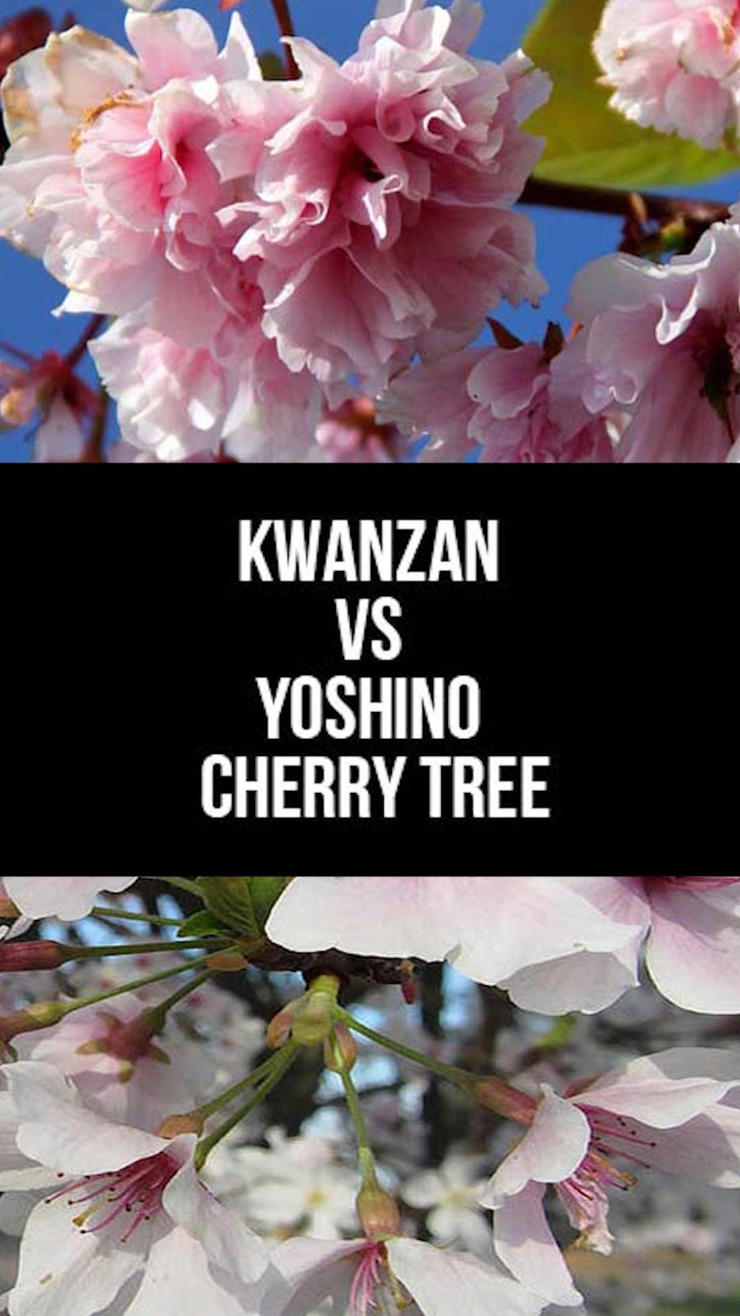 Kwanzan Vs Yoshino Cherry Tree What To Choose Video Yoshino Cherry Tree Flowering Cherry Tree Cherry Trees Garden